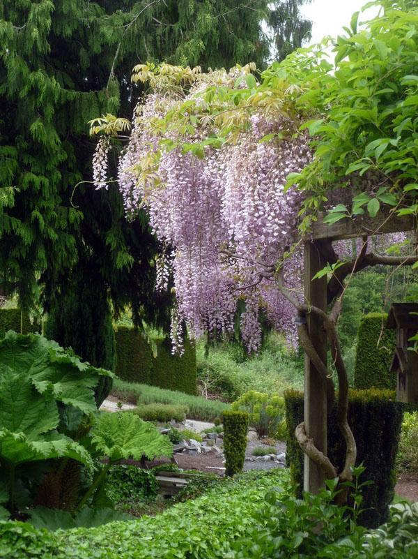 Глициния лоза ландшафтный дизайн идеи сад декор.