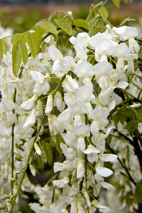 Белый глициния лоза сад пейзаж уединение идеи.