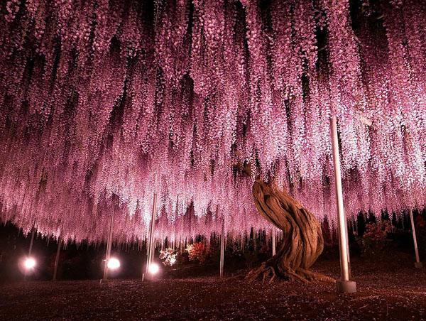 Старейшее дерево глицинии, выбирая лучшие лозы глицинии.