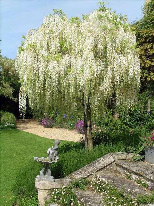 Типы глицинии дерева глицинии, как выбрать садовое декорирование глицинии.