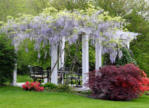 Глициния виноградная лоза традиционный пейзаж белая беседка.