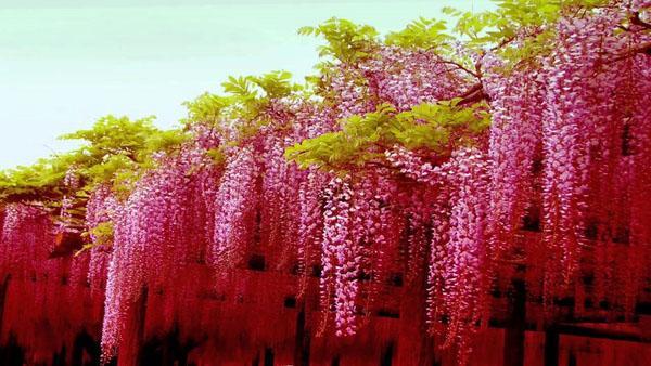 Глициния лоза патио варианты тени восхождение растений.
