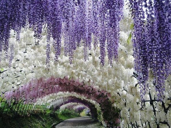 Глистерия туннельный сад пейзаж идеи сад декор.