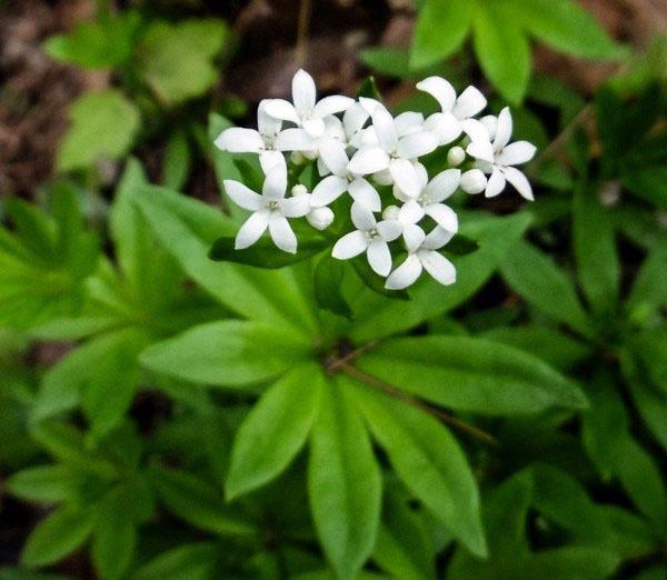Подмаренник душистый (Galium odoratum)