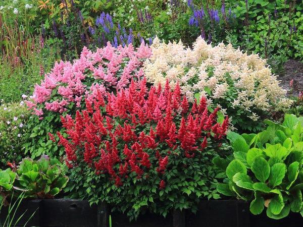 Astilbe великолепный и Другие растения почвенного покрова для тенистых садов