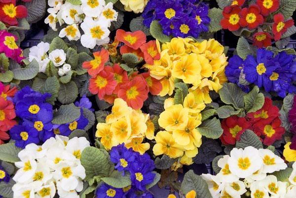 Примула (Primula vulgaris)
