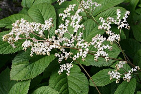 Родгерия - это цветущее травянистое многолетнее растение