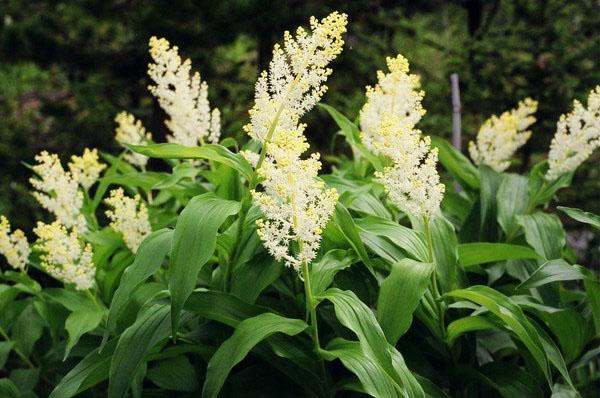 Смилацина (Smilacina) - также известный как факел Соломона,