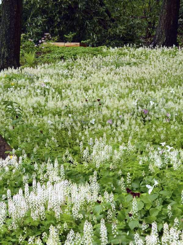 Тиарелла (Tiarellas) - известные как пенные цветы