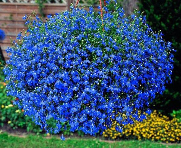 Lobelia - однолетнее растение