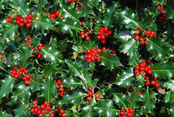 Падуб обыкновенный (llex aquifolium)