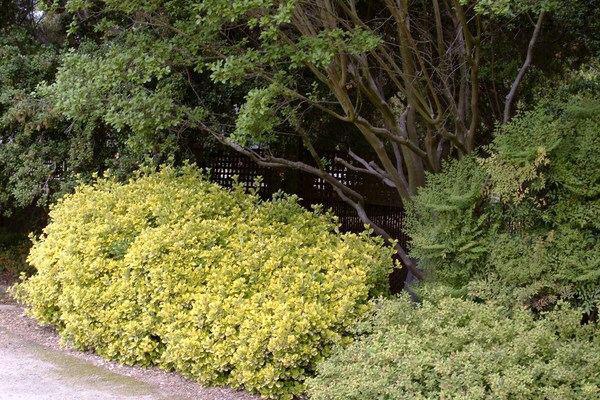 Бересклетяпонский (Euonymus japonicas)