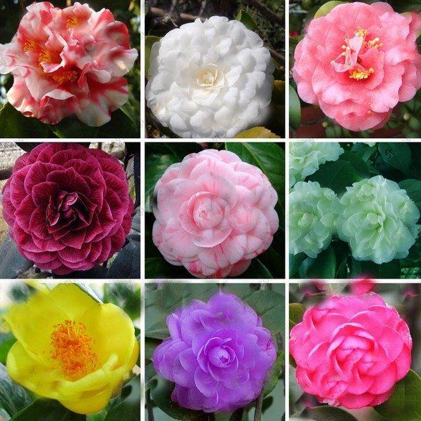 Камелия (Camellia sp.)