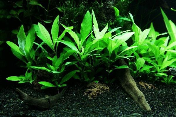 Hygrophila corymbosa, Hygrophila polysperma, Hygrophila pinnatifida, Hygrophila difformis