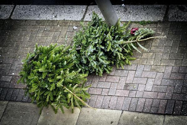 Что делать с живой елью после праздников?