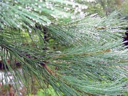 сосна обыкновенная (Pinus sylvestris L);