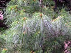белая сосна (Pinus strobus L.).