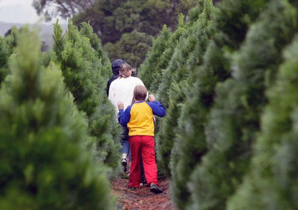 Живая новогодняя елка для семьи