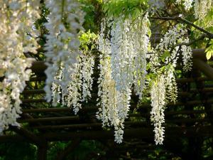 Глициния виноградные лозы глициния деревья японский садовые растения сад пейзаж