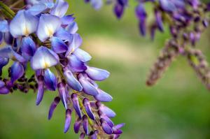 Глициния цветения глицинии цвета глицинии виды, как обрезать глицинии