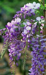 Фиолетовая виноградная лоза, как выращивать глицинию