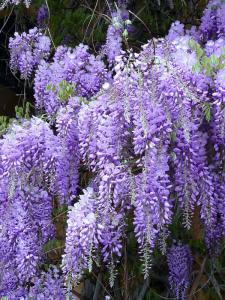 Китайский глицинии фиолетовый цвет садовый декор